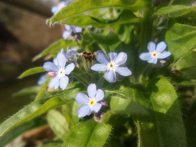 Petra Bosshard-Zwerenz - hellblaue Blüten und Blattfisch, Foto 04.2018