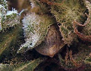 Cannabis Samen in Blüten