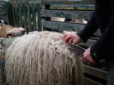Schafschur mit der Schere