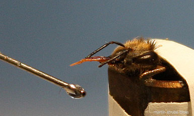 Proboscis Extension Reflex, Honey Bee