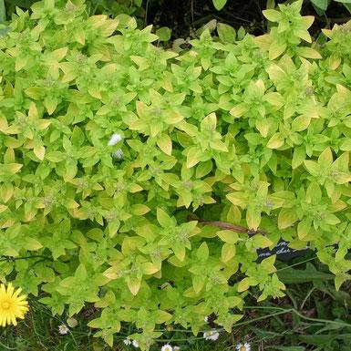 Origan doré,  Origanum vulgare 'Aureum'