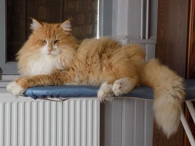 chaton norvégien, chat des forêts norvégiennes, roux et blanc, gallifrey's jim holden