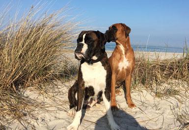 Karla und Amy Boxer von der Waldnieler Heide