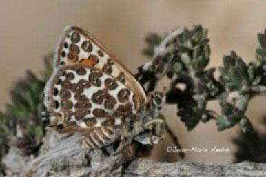 C. zohra cryptozohra, femelle, région de Taliouine, Anti-Atlas nord-oriental, 2013