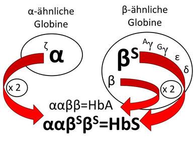 Abb. 3: Hämoglobin-Produktion bei einem Patienten mit einer Sichelzellkrankheit vom Subtyp einer Sichelzell-β(+)-Thalassämie