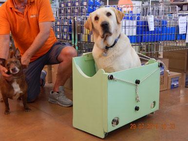 Marley il  labrador da 40 kg prova a stare nello Scalabox , accessorio per portare cani grandi con il sali scale Adelman .