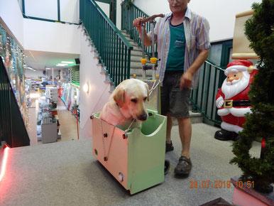 Il carrello scale Adelman porta il grande labrador Marley con l' ausilio dello Scalabox .