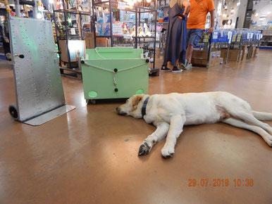 Metti una tarda mattinata calda e uggiosa in negozio e un grande Labrador che dorme tranquillo ..