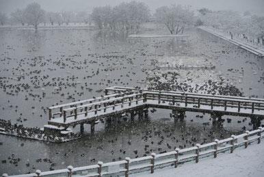 雪が舞う早朝の瓢湖。浮島や湖岸上にハクチョウたちがびっしり。