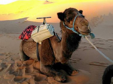 モロッコ/サハラ砂漠のラクダさん。まつ毛がとっても長いよ♪