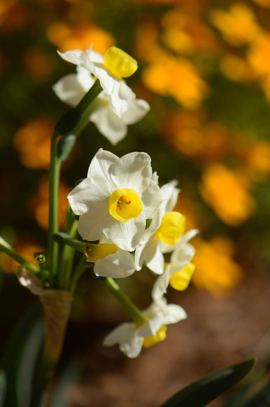 narcissus good scent avalanche cross