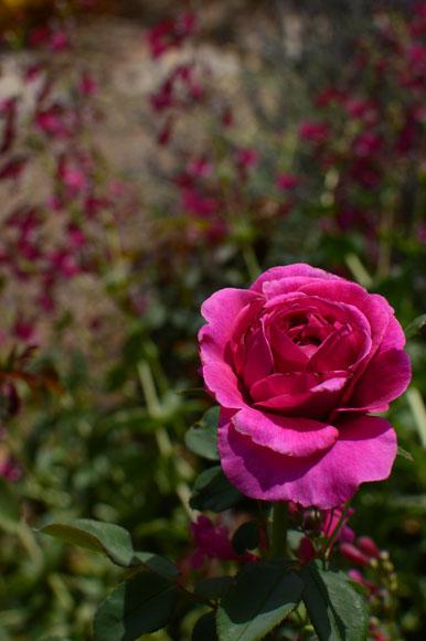rose William Shakespeare 2000 with Penstemon pseudospectabilis Coconino County