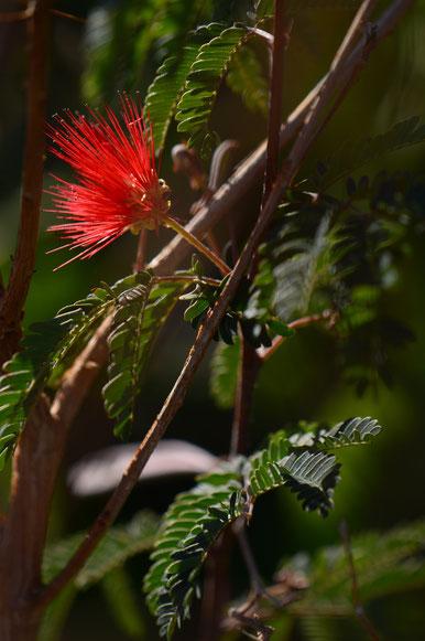 calliandra californica baja red