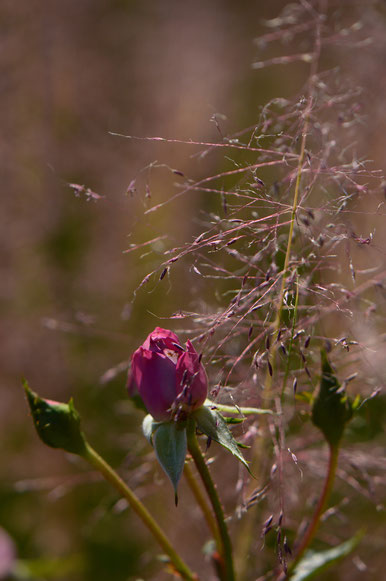lavender miniature rose with Muhlenbergia Regal Mist