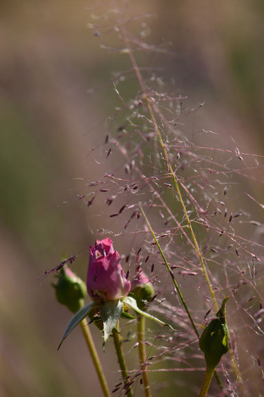 close-up: lavender miniature rose (Kordes) with Muhlenbergia Regal Mist
