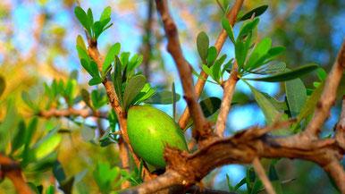 Fruto del argán. Moroccan Biocosmetic.