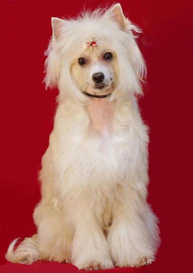 китайская хохлатая собачка - пуховая девочка
