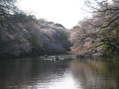 Inokashira Park Sakura season in Spring Tokyo Mitaka TAMA Tourism Promotion - Visit Tama 井の頭公園 桜 春 東京都三鷹市 多摩観光振興会