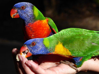 Rainbow lorikeets - Airlie Cove