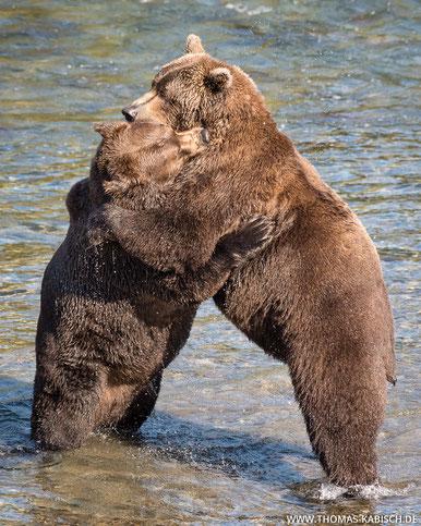 Tierfotografie Bären in Alaska