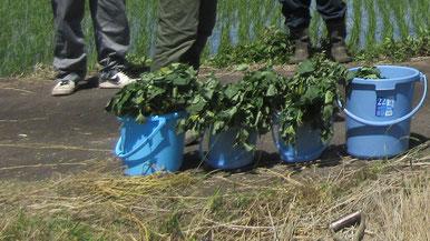 植え付けに使った立派なサツマイモ苗