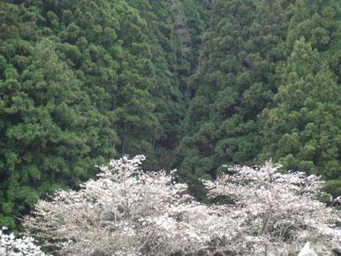 入遠野川沿いの桜