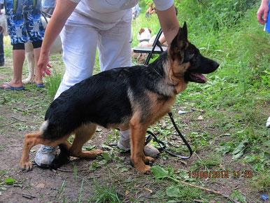 "Жантиль фон Нордэн(Ярант фон Нордэн-Шанта фон Нордэн)-1""большая перспектива"",Лучш.бэби,3-е место на бэсте бэби из 6 собак,13.06.10."