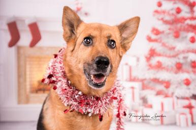 Franziska Spohn Fotografie - Indoorshooting, Hundefoto, Studiofotografie, Deutscher Schäferhund, Weihnachten