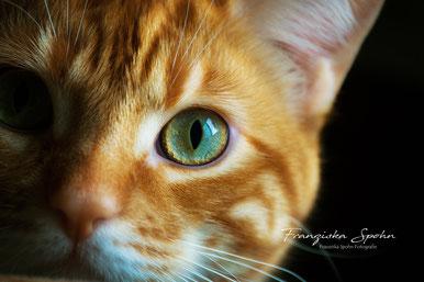 Franziska Spohn Fotografie - Tierfotografie, Katzenfotografie, Indoorshooting, rote getigerte Katze, halbes Portrait