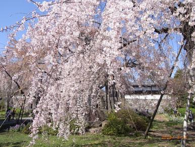 東郷寺の桜2020