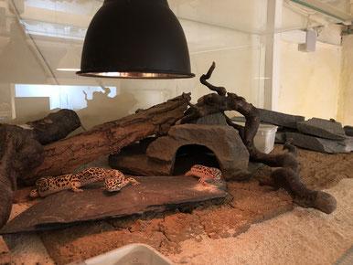 Ein vielseitig gestaltetes Terrarium für Leopardgeckos