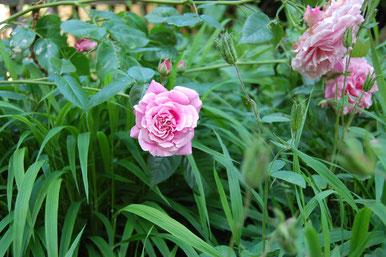 Heilige Elisabeth Rose