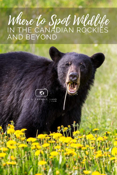 Searching for wildlife can be frustrating. Especially when you don't really know where to look. Follow this post to find out the best spots to see wildlife in the Canadian Rockies!