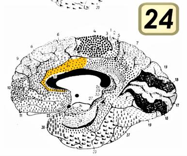 前帯状皮質