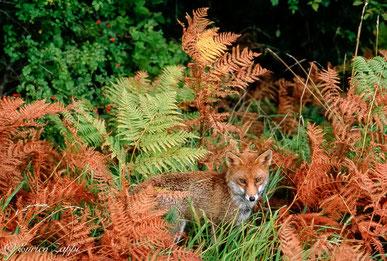"""Volpe fotografata nel Parco Nazionale delle Foreste Casentinesi. Il colore del suo manto fa sì che si mimetizzi molto bene fra le felci che, dopo aver assunto i colori autunnali, stanno appassendo sempre di più mentre avanza il """"Generale"""" INVERNO."""