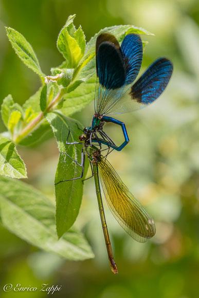 Calopteryx sp. l'accoppiamento ha inizio: il maschio afferra con i cerci la femmina dietro la nuca.