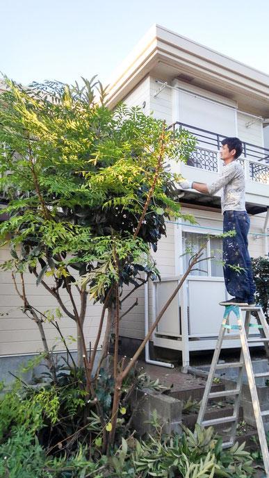 アパートの枝・葉の刈り込み 1