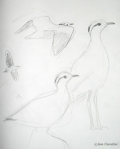 Cream coloured courser, courvite croquis JChevallier