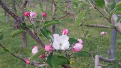 5月、リンゴたちは一斉に花を咲かせます