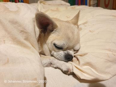 Chihuahua Hund schläft