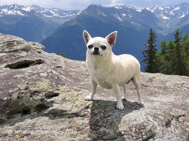 Hund Chihuahua auf der Gottschaunalm (Osttirol)