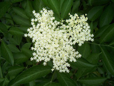 Fleur de Sureau - Sambucus nigra