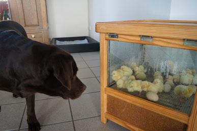 Tami mit unseren Osterküken