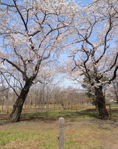 ●苗圃のあちこちで多様な桜を目にすることができます