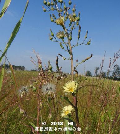 渡良瀬遊水地に生育しているアキノノゲシの全体画像と説明文書(種子)