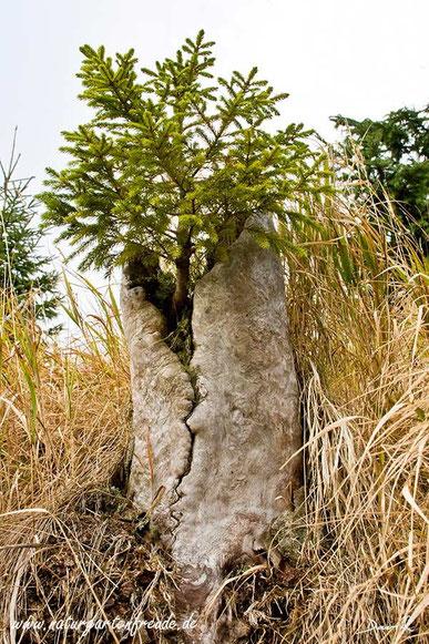 Totholz Keimung Fichtenkeimling