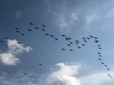 冬の風物詩。渡り鳥~~