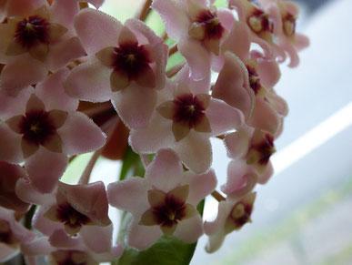 またしても謎のちっちゃいお花が咲いていました!肉厚でかわいい♪