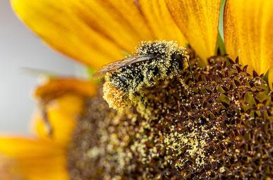 Biene voller Pollen auf Sonnenblume