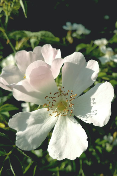 Bachblüten - Heckenrose - kines-praxis.ch Suzann Scheidegger